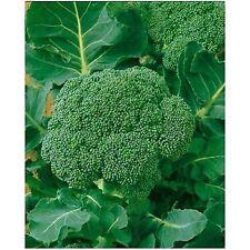 Broccoli Waltham 29 Hardy 200+ SEEDS