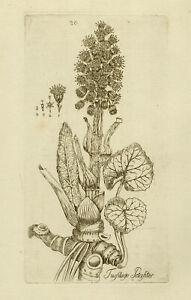 Rare Antique Print-BUTTER BURR-TUSSILAGO-Happe-1788