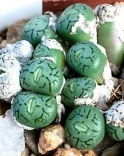 RARE CONOPHYTUM FICIFORME mesemb exotic succulent seed living stones - 15 SEEDS