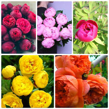 Peony 10 Seeds Tree Bonsai Plant For Balcony Garden Flowers,Wedding Decoration