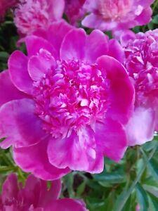 Pfingstrosen, Paeonia lactiflora,  im  19 cm Topf, pink rosa