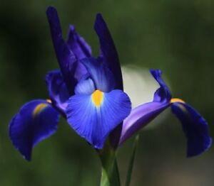 Blaue Iris Blumenzwiebeln winterharte Blumen für den Garten mehrjährige Pflanzen