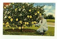 Winter Haven Florida Ponderosa Lemon Tree Worlds Largest Lemons Vintage Postcard
