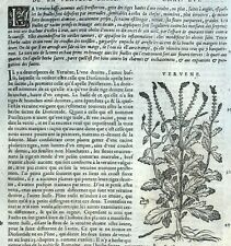 Verbena Grabado Botánica Matthioli Mattioli Matthiole Dioscorides