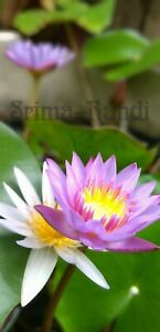 Photo of blue lily, (National Flower Of Sri Lanka) Fast Email Delivery