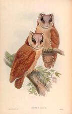 J GOULD reproduction imprimé oiseaux phodilus badius des oiseaux de l'Asie. # 63