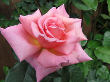 COMPASSION - 5.5lt Potted Climbing Garden Rose - Pink/Apricot, Fragrant