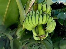 Musa Nagensium Bananen winterharte Baum Palmen exotisch immergrüne Pflanze Samen