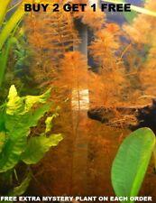 Myrio Tuber Red Buy2Get1Free planted tank aquarium live plant planted tank