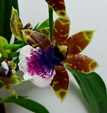 Zygopetalum Blue Red Tears Hybride Selection Duft Orchidee Orchideen