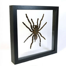 Real taxidermy insect mounted in double glass frame - Tarantula Spider