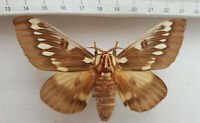 Saturniidae, Citheronia splendens queretana male from Central Mexico   S4-13