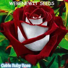 RUBY RED/WHITE OSIRIA ROSE SEEDS X 20 +FREE GIFT AUSSIE SELLER