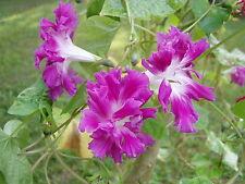 Morning Glory Ipomoea Sunrise Serenade 10 Seeds