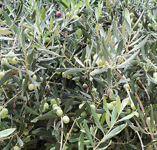 * Olive Tree 3 cuttings - no seeds from our garden in spain *