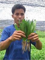 New! 2,300 seeds Of  Thai Recao, Culantro Cilantro ancho  Eryngium foetidum+Ship