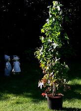 Amberbaum Liquidambar styraciflua Herbstfärber 100 - 125 cm im 5 Liter Topf