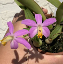 Laelia lucasiana - In Spike, 3 New Growths