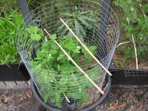 Pea - Massey Gem (pisum sativum) 15 Reliable Viable Seeds