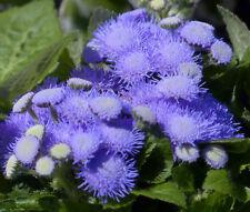 AGERATUM BLUE MINK  Ageratum Houstonianum - 2,000 Bulk Seeds