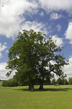 ENGLISH OAK TREE QUERCUS ROBUR Native Young Large 4lit POTTED 2ft Acorns