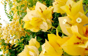 Well Rooted **GOLD** Live Bougainvillea starter/plug plant*