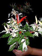 Rare Shu Pepper Seeds-  BEAUTIFUL & VARIEGATED! COMB. S/H SEE OUR STORE