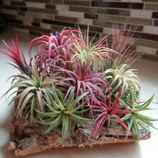 100Pcs Perennial Succulent Tillandsia Seeds Air Plant Flower Grass Indoor Decor