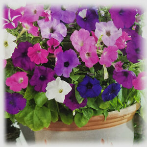 1,000 Hanging Petunia Seeds Trailing Flowers Seeds Petunias by Pretty Wild Seeds