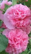 HOLLYHOCKS CHATER'S DOUBLE  ROSE PINK  30  SEEDS PERENNIAL