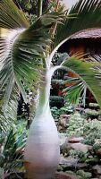 8 pc Bottle palm tree Seeds Exotic Plants seeds