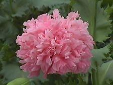 Peony- Poppy- Bombast Rose- 100 Seeds- BOGO 50% off SALE