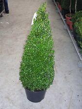 2 Buchsbaum-Kegel / Pyramide,  90-100 cm, Buxus sempervirens + Dünger !