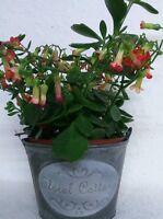 Pflanzeimer Zink Blumentopf VINTAGE Eimer Garten TOPF SHABBY FLORAL Cottage