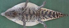 "100% Genuine Crocodile VIETNAM Alligator Hide Skin Leather Taxidermy 90cm/36"""