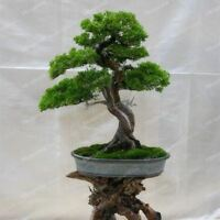 50 Pieces/Lot Thunbergii Black Pine bonsai Tree Seeds Potted Plants Japanese Pin