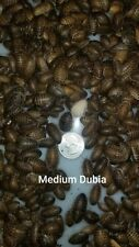 Medium dubia roaches 200ct