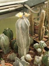 Astrophytum Myriostigma V Columnare SB340  (10 SEEDS) Cactus Korn Samen 種子 씨앗
