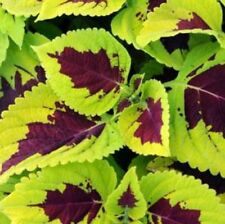 ~ Coleus KONG * LIME SPRITE * 20 Seeds * SHADE Lovers!!