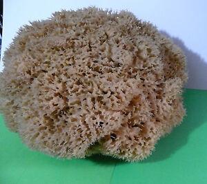 XXXL  Sea Sponge Honeycomb 12.5''= + 32cm Greek LUXURIOUS- SPECIAL - ONLY ONE