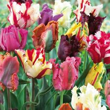 30 x Mixed Parrot Tulip Bulbs.Stunning Mixed blooms.Easy to grow.Spring Flowers