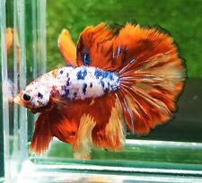 LIVE FISH BETTA HALFMOON MALE GALAXY FIRE TAIL HIGH QUALITY FROM THAILAND