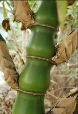 Buddha's Belly bamboo. 20 seeds. Bambusa ventricosa In Australia. Free Post.