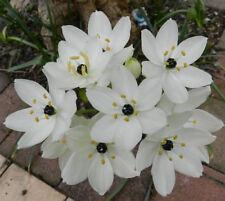 black pear lily arabs eye flower bulbs BULK LOT X 10 PIECES