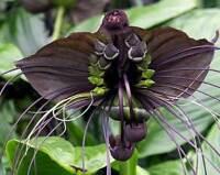 TACCA CHANTRIERI orchidea, 15 semi + OMAGGIO