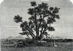 SACRED BO TREE, ANURAJAPURA, 2100 YEARS OLD 1891 Sri Lanka VICTORIAN ENGRAVING