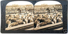 Keystone Stereoview CATTLE at UNION STOCK YARDS Chicago, IL from 1930's T400 Set