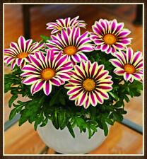 Heirloom Medal Chrysanthemum Seed Indoor Outdoor Bonsai Flower Easy Grow
