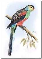 """Vintage John Gould Bird Art CANVAS PRINT~ Paradise parrot 24""""X16"""""""