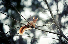 Framed Print – Little Red Squirrel Sitting in a Tree (Animal Rodent Picture Art)